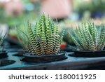 green cactus plants in pots ... | Shutterstock . vector #1180011925