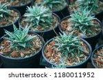 green cactus plants in pots ... | Shutterstock . vector #1180011952