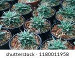 green cactus plants in pots ... | Shutterstock . vector #1180011958