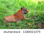 majestic royal bengal tiger at... | Shutterstock . vector #1180021375