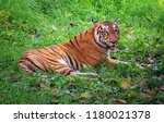 majestic royal bengal tiger at... | Shutterstock . vector #1180021378