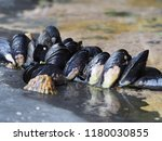 Fresh Sea Water Mussels On Roc...