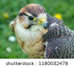 kestrel  falco tinnunculus | Shutterstock . vector #1180032478