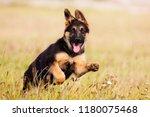 german shepherd puppy runs on... | Shutterstock . vector #1180075468
