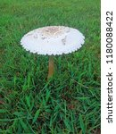 Oklahoma Toadstool Mushroom