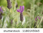 close up look on lavandula... | Shutterstock . vector #1180145065