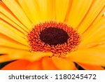 sun flower studio close up | Shutterstock . vector #1180245472