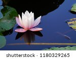 nymphaea   water lilies   ...   Shutterstock . vector #1180329265
