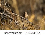 Small photo of Abert's Towhee in southern Arizona in fall