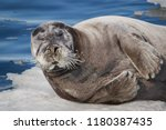 portret of bearded seal  square ... | Shutterstock . vector #1180387435