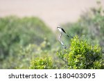 grey backed fiscal in masai... | Shutterstock . vector #1180403095