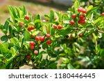 mango lime booze | Shutterstock . vector #1180446445
