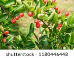 mango lime booze | Shutterstock . vector #1180446448