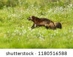running wolverine in russia...   Shutterstock . vector #1180516588