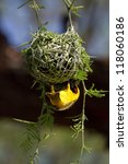 A male southern masked weaver building the last bit of its nest - stock photo