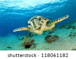 Turtle  Hawksbill Sea Turtle ...