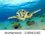 Small photo of Turtle (Hawksbill Sea Turtle) underwater