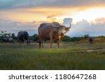 buffalo in thailand. animals to ...   Shutterstock . vector #1180647268