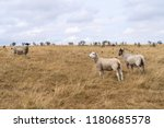 sheep grazing in the english... | Shutterstock . vector #1180685578