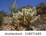 The Teddy Bear Cholla Is Named...