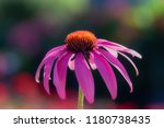 Echinacea Flower Against Soft...