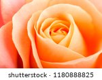 rose flower macro studio shot | Shutterstock . vector #1180888825