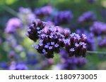 """argentinian vervain"" flowers ...   Shutterstock . vector #1180973005"