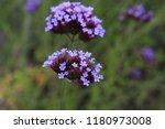 """argentinian vervain"" flowers ...   Shutterstock . vector #1180973008"