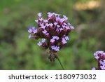 """argentinian vervain"" flowers ...   Shutterstock . vector #1180973032"