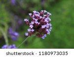 """argentinian vervain"" flowers ...   Shutterstock . vector #1180973035"