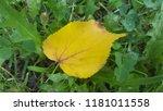 beech tree yellow fall leaf... | Shutterstock . vector #1181011558