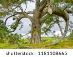 giant pine tree. a canopy of... | Shutterstock . vector #1181108665