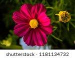 red cosmos flower  cosmos... | Shutterstock . vector #1181134732