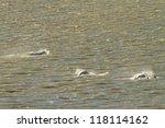 group of beluga whales in alaska | Shutterstock . vector #118114162