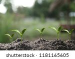 agriculture. growing plants.... | Shutterstock . vector #1181165605
