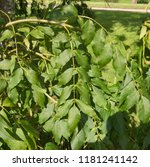 weeping ash tree  fraxinus... | Shutterstock . vector #1181241142