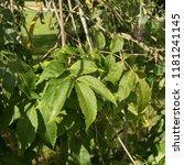 weeping ash tree  fraxinus...   Shutterstock . vector #1181241145