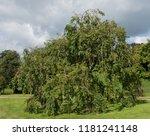 weeping ash tree  fraxinus...   Shutterstock . vector #1181241148