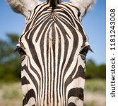 closeup of a muzzle of a plain... | Shutterstock . vector #1181243008