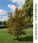 autumnal colours of a deciduous ... | Shutterstock . vector #1181248762