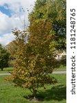 autumnal colours of a deciduous ... | Shutterstock . vector #1181248765
