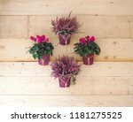 cyclamens and lavender in pots... | Shutterstock . vector #1181275525