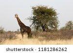 single adult giraffe  giraffa... | Shutterstock . vector #1181286262