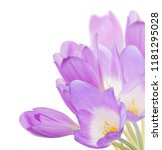 light lilac crocus flowers... | Shutterstock . vector #1181295028