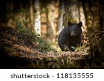 Adult Black Bear Foraging In...