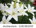 growing white lilies | Shutterstock . vector #1181381035