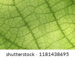 closeup of green leaf with veins | Shutterstock . vector #1181438695