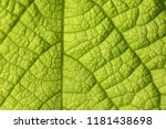 closeup of green leaf with veins | Shutterstock . vector #1181438698