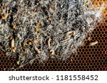 wax moth larvae on an infected... | Shutterstock . vector #1181558452