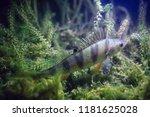 river perch underwater photo  ... | Shutterstock . vector #1181625028